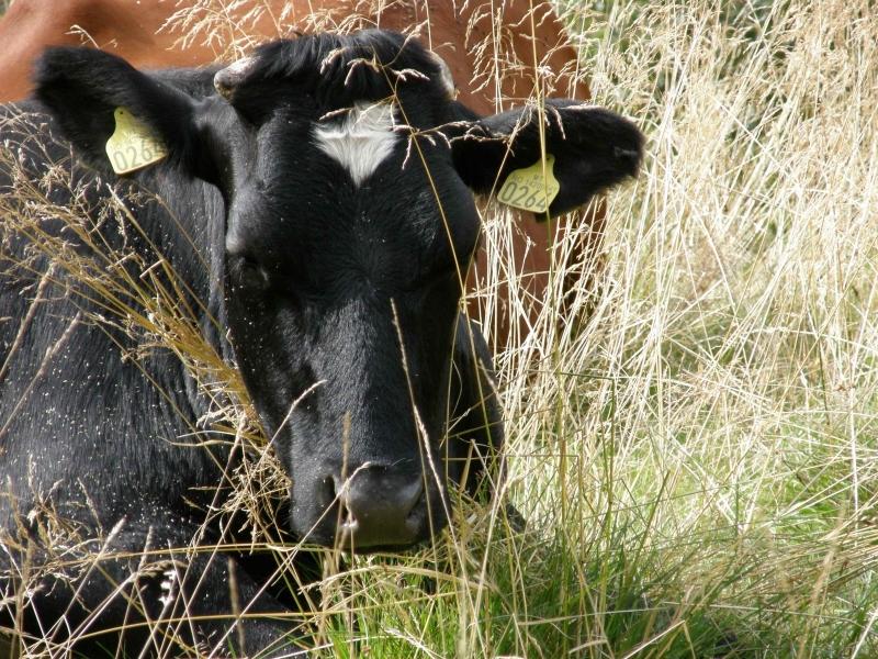 Krowa norweska