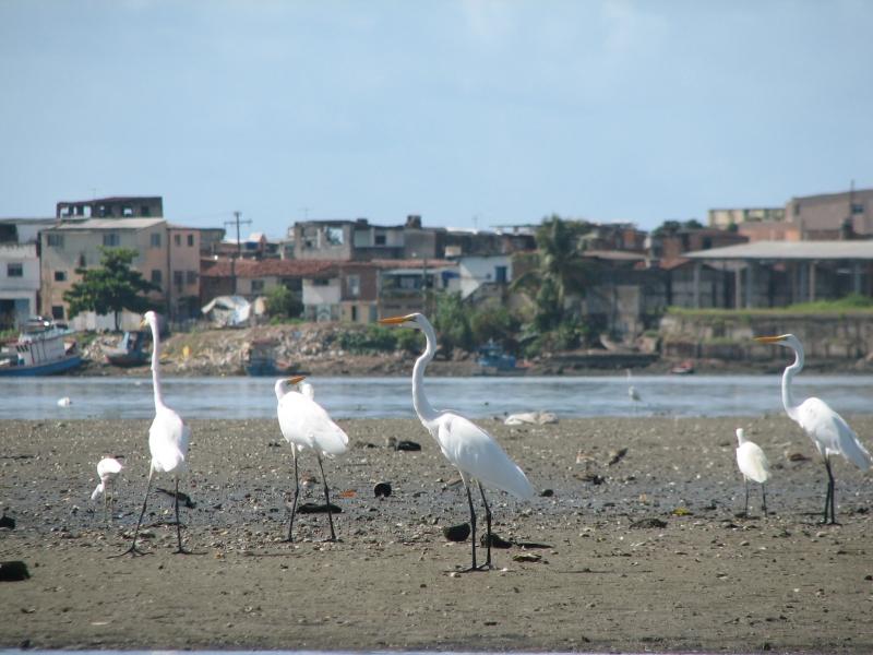 Czaple z Recife