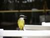 Ptak z Rio de Janeiro
