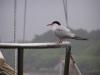 Ptaszek z Szetlandów