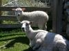 Owce z głupim wyrazem pyska