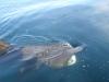 Długoszpar-rekin olbrzymi